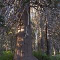 Champion Lodgepole Pine (Pinus contorta var. murrayana).- Champion Lodgepole Pine + Bluff Lake