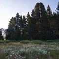 View of the Champion Lodgpole Pine from the Siberia Creek Meadow.- Champion Lodgepole Pine + Bluff Lake
