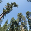 Ponderosa pines (Pinus ponderosa) towering over Deer Group Camp.- Deer Group Camp