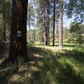 Fields of false hellebore (Veratrum viride) and ponderosa pines (Pinus ponderosa).- Grand View Point Hike