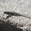 Western fence lizard (Sceloporus occidentalis) along the Woodland Interpretive Trail.- The Woodland Interpretive Trail