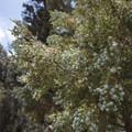 Western juniper (Juniperus occidentalis) along the Woodland Interpretive Trail.- The Woodland Interpretive Trail