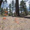 Scarlet Bugler (Penstemon centranthifolius) along the Woodland Interpretive Trail.- The Woodland Interpretive Trail