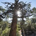 Western juniper (Juniperus occidentalis) along the Cougar Crest Trail.- Cougar Crest Trail
