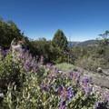 Unidentified penstemon species (help us identify it by providing feedback) along the Cougar Crest Trail en route to Bertha Peak.- Bertha Peak Hike