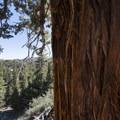 Western juniper (Juniperus occidentalis) along the Cougar Crest Trail.- Bertha Peak Hike