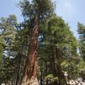 Giant California incense cedar (Calocedrus decurrens) at South Fork Campground.- South Fork Campground, Santa Ana River