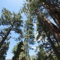 California incense cedars (Calocedrus decurrens) and ponderosa pines (Pinus Ponderosa) at South Fork Campground.- South Fork Campground, Santa Ana River