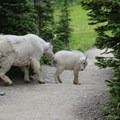 Mountain goats on the trail to the Granite Park Chalet.- Granite Park Chalet
