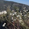 Buckwheat species along the Morton Ridge Trail en route to Morton Peak.- Morton Peak Hike
