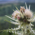 A thistle along the Highline Trial.- Highline Trail