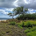 Coastal trees brave the wind and salty air near the ocean.- Keālia Pond National Wildlife Refuge
