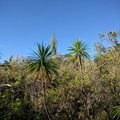 The trail is named for this Hawaiian native, the 'iliau plant.- Iliau Nature Loop