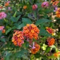The gorgeous lantana flowers make you forget this is a pernicious weed in Hawaii.- Iliau Nature Loop