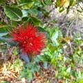 The fuzzy red flowers on the 'ōhi'a-lehua plant are uniquely Hawaiian.- Iliau Nature Loop