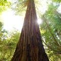 A towering coastal redwood.- Tall Trees Grove