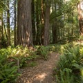 Trail meandering through the grove.- Tall Trees Grove