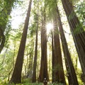 The height of these ancient trees is amazing.- Tall Trees Grove