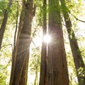 Light rays beam through the trees.- Tall Trees Grove
