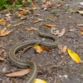 A gopher snake slithers across the trail.- Tall Trees Grove