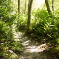 Sections of the trail are bordered by giant ferns.- Tall Trees Grove