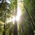 Sun begins to set behind a 300-foot redwood.- Tall Trees Grove