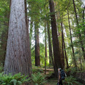 It is difficult to fathom how large these organisms are.- Tall Trees Grove