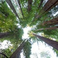 Looking up at the 300-foot tree tops.- Tall Trees Grove