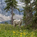 A mountain goat on the Hidden Lake Hanging Garden Trail.- Hidden Lake Hanging Garden Trail