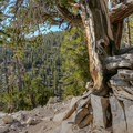 Trees growing from stone in a landscape that has eroded over the centuries.- Methuselah Trail