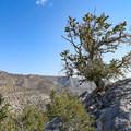 Scenic bristlecone pines.- Methuselah Trail