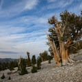 Bristlecones growing in Patriarch Grove.- Ancient Bristlecone Pine Forest