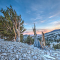Dusk in Patriarch Grove.- Ancient Bristlecone Pine Forest