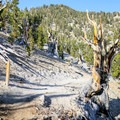 Though unmarked, the world's oldest known tree is visible along the Methuselah Trail.- Ancient Bristlecone Pine Forest
