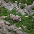 A bighorn sheep along the Highline Trail.- Highline Trail