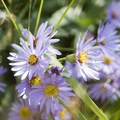 Aster.- Bridal Veil Falls via Cow Creek Trail