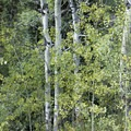 Aspen alongside Cow Creek.- Bridal Veil Falls via Cow Creek Trail