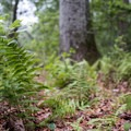 The ground in 500 Loop is decorated with leaves from the previous fall season and new fern growth.- Burlingame State Park Campground