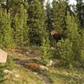 Moose at the West Tensleep Trailhead (9,075 ft).- Cloud Peak Via West Tensleep Trailhead