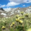 Wildflowers in Florence Pass.- Cloud Peak Via West Tensleep Trailhead