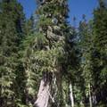 Large Douglas firs along the trail to Yoran Lake.- Yoran Lake Trail