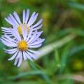 Native aster wildflowers.- Yoran Lake Trail