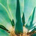 Close up of a succulent located in Amir's Garden.- Amir's Garden, Griffith Park