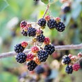 Blackberries along the Lower Salmon River.- Lower Main Salmon River: Pine Bar to Heller Bar