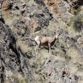Big horn sheep.- Lower Main Salmon River: Pine Bar to Heller Bar