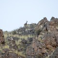 Big horn sheep on the edge of the canyon walls.- Lower Main Salmon River: Pine Bar to Heller Bar
