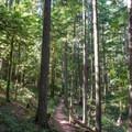 Goodman Creek Trail in the Willamette National Forest.- Goodman Creek Trail