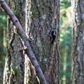 Woodpecker in the Willamette National Forest.- Goodman Creek Trail