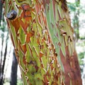 The Pacific madrone tree.- Eagles Rest Trail
