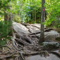Tree roots form natural ladders.- Bald Mountain + Rondaxe Fire Tower